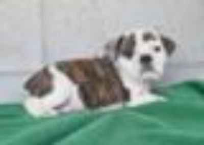 Jackson: Beabull Male Puppy
