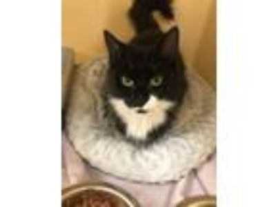 Adopt Leah a Domestic Medium Hair, Domestic Short Hair