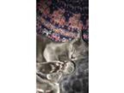 Adopt Stella a Gray or Blue British Shorthair / Mixed cat in Rogers