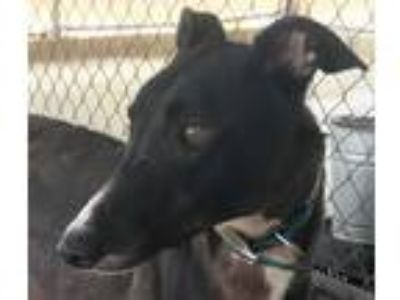 Adopt Yaahwannaah a Black Greyhound / Mixed dog in Longwood, FL (16292451)