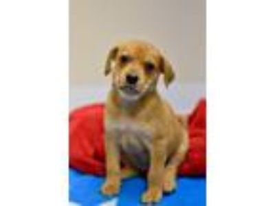 Adopt Drax a Labrador Retriever / Mixed dog in Canton, GA (25636984)
