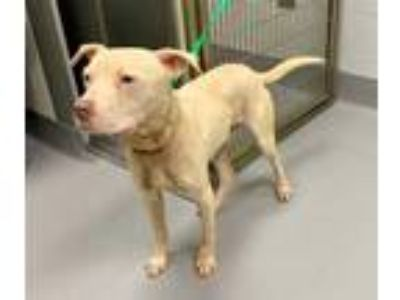 Adopt 41990061 a White American Pit Bull Terrier / Mixed dog in Greenwood