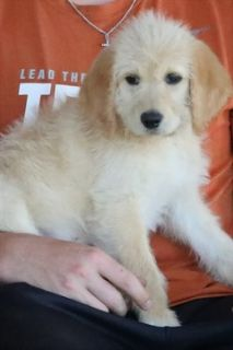 Labradoodle PUPPY FOR SALE ADN-74539 - Labradoodle Puppies F1b CKC reg for Guardian Home