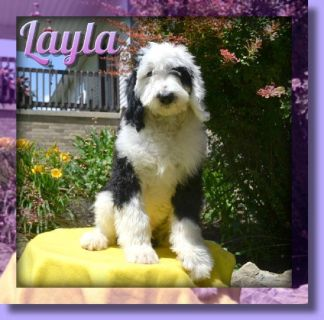 Layla Female Sheepadoodle