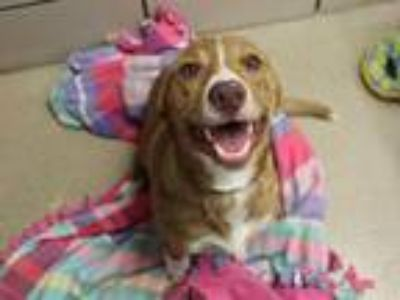 Adopt SAMMY a Beagle, Border Collie