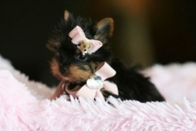 Yorky puppies text (646) 926-4405