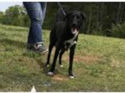 Adopt Dee a Black - with White Labrador Retriever / Husky / Mixed dog in