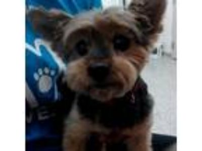Adopt Spunky a Yorkshire Terrier