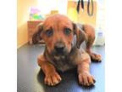 Adopt Dalton James a Bloodhound, Labrador Retriever