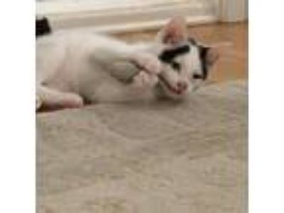 Adopt Cayla a White Domestic Shorthair / Domestic Shorthair / Mixed cat in