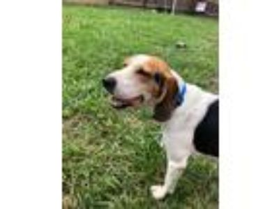 Adopt Barney a Tricolor (Tan/Brown & Black & White) Hound (Unknown Type) /