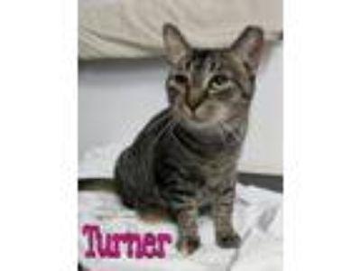 Adopt Turner a Domestic Short Hair