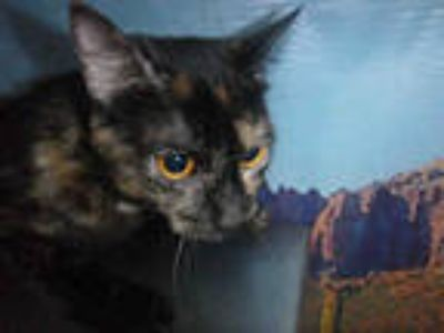 Adopt a Tortoiseshell Domestic Shorthair / Mixed (short coat) cat in Henderson