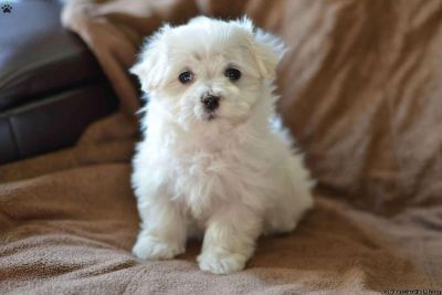 Gorgeous White Coat Maltese puppies for sale