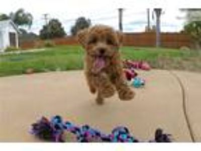 CavaPoo puppy for sale - Cavalier x Toy Poodle