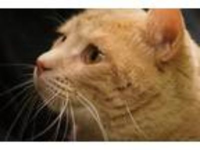 Adopt 51594 a Orange or Red (Mostly) Domestic Mediumhair / Mixed cat in Little
