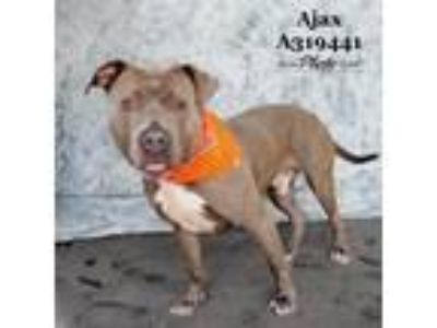 Adopt AJAX a Gray/Silver/Salt & Pepper - with White American Pit Bull Terrier /
