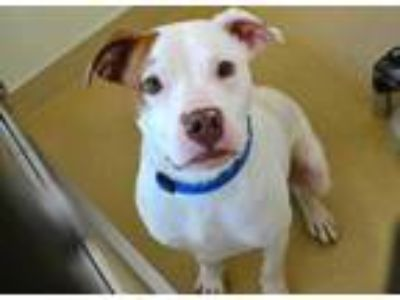Adopt *MILES a White - with Brown or Chocolate American Pit Bull Terrier / Mixed