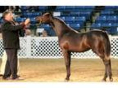 Black Straight Egyptian Mare for sale