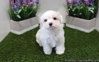 Two Teacup Maltese Puppies Needs a New Family (478) 216