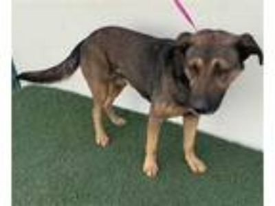Adopt CHAPO a Black - with Tan, Yellow or Fawn German Shepherd Dog / Mixed dog