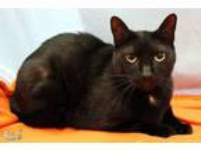 Adopt Dickens a Domestic Short Hair