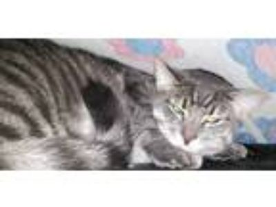 Adopt Lennox a Gray or Blue (Mostly) Domestic Shorthair / Mixed cat in Mount