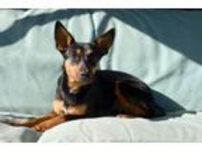 Adopt Lady a Tricolor (Tan/Brown & Black & White) Miniature Pinscher / Mixed dog