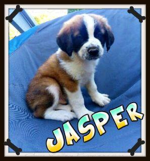 Jasper Male AKC Saint Bernards Dry Mouth $399. text 330-826-1882