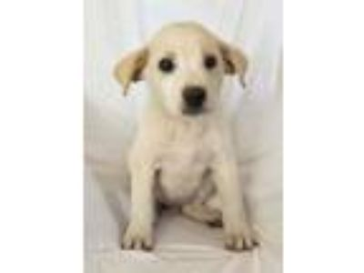 Adopt Ace a White - with Tan, Yellow or Fawn Great Pyrenees / Anatolian Shepherd