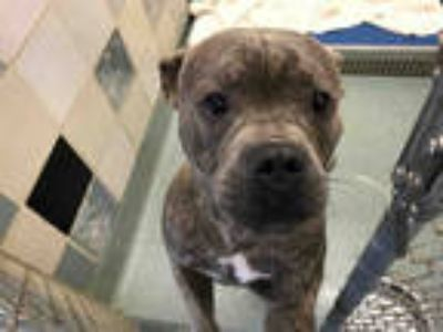 Adopt a Brindle American Pit Bull Terrier / Mixed dog in Plano, TX (25371997)