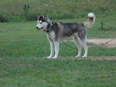 "Beautiful Siberian Husky ""Meiko"""