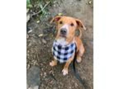 Adopt Annalise a Red/Golden/Orange/Chestnut Labrador Retriever / Hound (Unknown