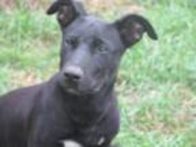 Adopt Ken a Black Dachshund / Terrier (Unknown Type, Small) / Mixed dog in