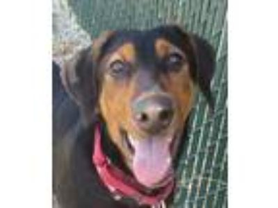 Adopt Mizzy a Black Doberman Pinscher / German Shepherd Dog / Mixed dog in