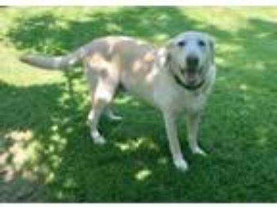 Adopt Jake a Tan/Yellow/Fawn Labrador Retriever / Mixed dog in Houston