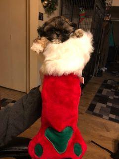 Shih Tzu PUPPY FOR SALE ADN-112399 - Family Raised Shihtzu puppies