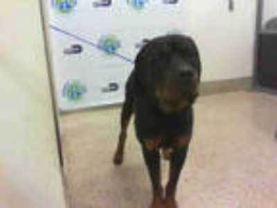 Adopt ZUES a Black - with Tan, Yellow or Fawn Rottweiler / Mixed dog in Doral
