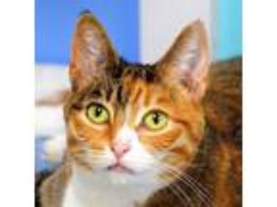 Adopt Alley a Calico or Dilute Calico Domestic Shorthair (short coat) cat in