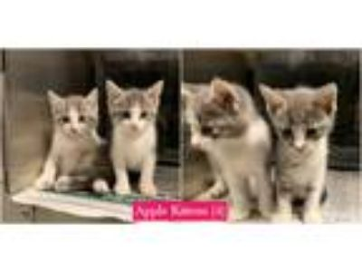 Adopt Apple Kittens (4) a Gray or Blue Domestic Shorthair (short coat) cat in