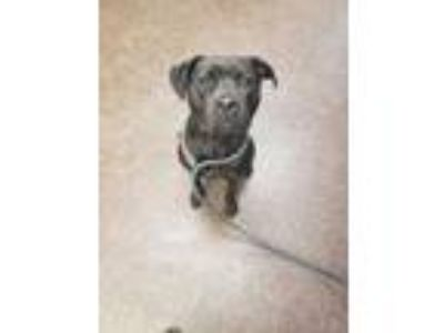 Adopt Kara a Black Labrador Retriever / Bullmastiff / Mixed dog in Land O'Lakes