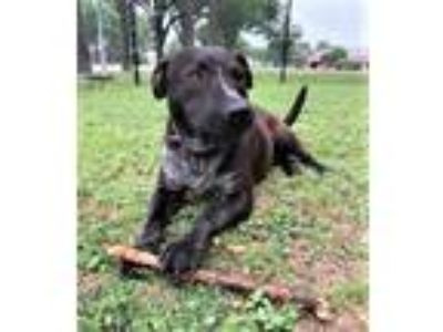 Adopt Duke a Australian Cattle Dog / Blue Heeler, Labrador Retriever