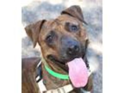 Adopt Reeses a American Pit Bull Terrier / Mixed dog in Oakland, CA (25887666)
