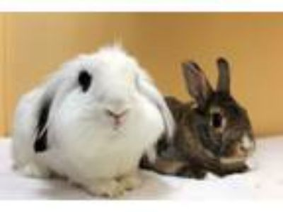 Adopt Penny & Django a White Other/Unknown / Mixed rabbit in Fountain Valley