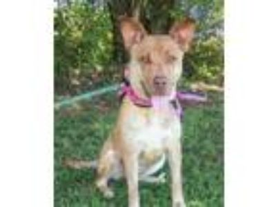 Adopt Ginger a Shepherd, Mixed Breed