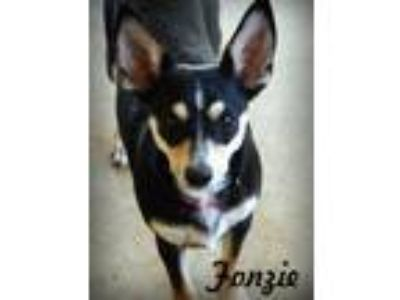 Adopt Fonzie a Tricolor (Tan/Brown & Black & White) Miniature Pinscher / Terrier