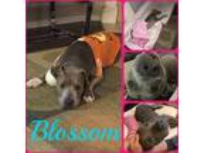 Adopt Blossom a Gray/Silver/Salt & Pepper - with White Pit Bull Terrier / Mixed