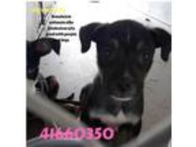 Adopt copper a Black Husky / American Pit Bull Terrier / Mixed dog in Edinburg