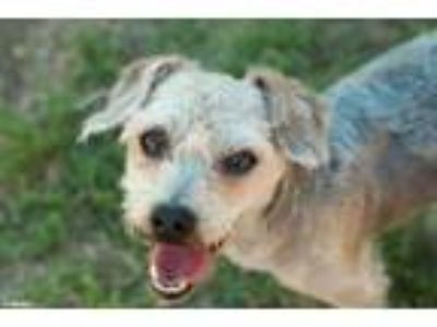 Adopt WOLFIE a Poodle, Yorkshire Terrier