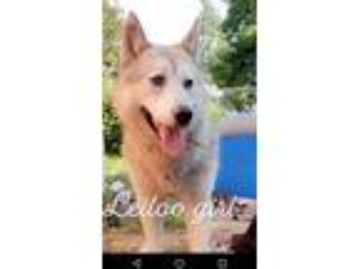 Adopt Lei Loo a Gray/Silver/Salt & Pepper - with White Husky / Mixed dog in